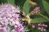 A Carpenter On Spirea (Modkuse) Tags: bee insect nature natural flowers flower flowergarden creature nikon nikondslr nikond700 nikon105mmf28macronikkor macro macrophotography macrolens macroinsects nikkor nikkor105mmf28macro 105mm
