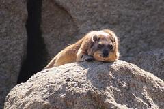 DSC06872 (Christine Gerhardt) Tags: deutschland klippschliefer stuttgart tierfoto wilhelma zoo
