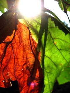 Half dried grape leaf.