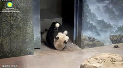 2018_08-16m (gkoo19681) Tags: meixiang beautifulmama sopretty proudmama adorableears fuzzywuzzy treattime treattube amazing toocute expert listening keptinside poormama perfection precious darling meltinghearts foreveryoung ccncby nationalzoo