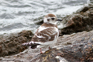 Juvenile Little Gull