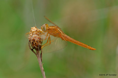 Libellule (jpto_55) Tags: insecte odonate libellule bokeh proxi xe1 fuji fujifilm fuji55200f3548rlmois hautegaronne france crocothemiserythraea