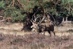 Veluwe (John DG Photography) Tags: 2018 d4s deerrut europe hogeveluwe netherlands nikon veluwe deer rutting rut