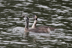 Great Crested Grebe Feeding (NTG842) Tags: reddish vale country park stockport great crested grebe feeding time