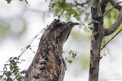 Eyes wide shut -Northern Potoo (Nyctibius jamaicensis) Huatulco, Mexico 2018 (Ricardo Bitran) Tags: nyctibiusjamaicensis northernpotoo huatulco mexico