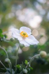 amazingly sharp (Tschissl) Tags: garden bokeh pflanzen bubbles flowers staeblekata2845 vintagelens garten blumen