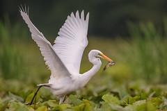 Great Egret (wn_j) Tags: birds birding birdsinflight wildlife wildanimals canon canon1dxii canon400mm nature naturephotography nationalwildliferefuge egret greategret heinz heinzwildlife heinznwr heron johnheinz johnheinznwr