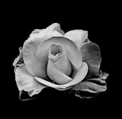The elegance of the rose (majka44) Tags: blackandwhite black rose flower macroworld light elegant nice beauty blackwhite