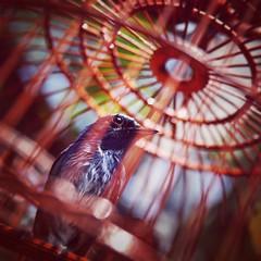 Proudly (Alexis Foissy Photography) Tags: yuenpostreetbirdsgarden mongkok hongkong china birds wildlife canon 7dmarkii