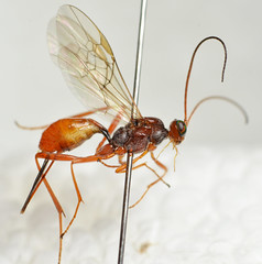 Zele chlorophthalmus (Jonas Lutz) Tags: wasp wasps parasite parasitic ichneumon
