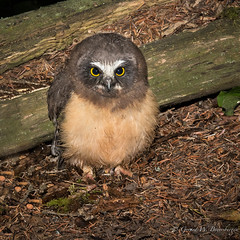 North Saw-whet Owl (Turk Images) Tags: aegoliusacadicus borealwoods nestbox northernsawwhetowl alberta birds nswo owls strigidae thorhild