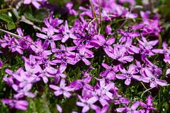 Canandian wildflowers (Bill Clark_photos) Tags: banff alberta canada kananaskis