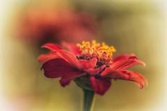¿ Se imaginan enamorarse de alguien y que esa persona también se enamore de tí? ¡ Debe ser una locura! (elena m.d.) Tags: zinnia rojo red macromondays 7dwf nikon d5600 sigma sigma105 elena colores colors