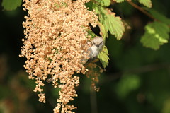 Bushtit at Stanley Park in Vancouver BC (JD.Corcoran) Tags: akaug2018 birds bushtit canada faves metrovancouver nature stanleypark vancouverbc wildlife