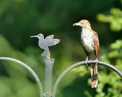AFC_1260_01 (thorntm) Tags: nikond800 nikon70200lens hawk bird t18082301 mdtpix coopershawk