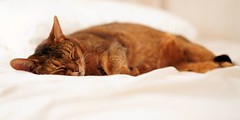 Zzz...Zzz...Zzz... Down for a while (DizzieMizzieLizzie) Tags: abyssinian aby lizzie dizziemizzielizzie portrait cat feline gato gatto katt katze kot meow pisica sony neko gatos chat fe ilce 2018 ilce7m3 a7iii pose classic pet fool golden bokeh dof animal zeiss planar t 50mm f14 za fly