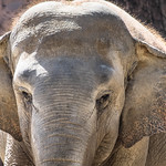 Close-up of an elephant's face thumbnail