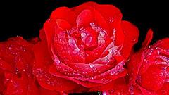 Natures Gems (dawn_macroart) Tags: colour organic petals raindropsgems blackbackground macrosamsunggalaxy7 precious arty flowers seasons summer