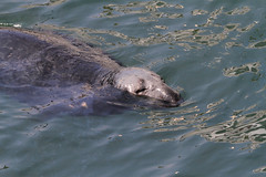 Seal (tguttilla) Tags: seal capecod chathamma oceanharbor massachusetts