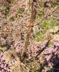 Seven Spot Ladybird, Abergavenny Road, Blaenavon, Pontypool 29 August 2018 (Cold War Warrior) Tags: ladybird coccinellaseptempunctata thistle blaenavon pontypool