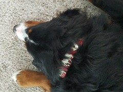 Boomer-2 (Alpen Schatz - Mary Dawn DeBriae) Tags: happy customer alpenschatz bernesemountaindog dog swissdogcolar hunterswisscrosscollar doggles stein