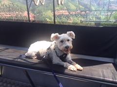 Max-Gondola (Alpen Schatz - Mary Dawn DeBriae) Tags: happy customer alpenschatz bernesemountaindog dog swissdogcolar hunterswisscrosscollar doggles stein