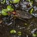 Long-legged Fly (Family: Dolichopodidae)