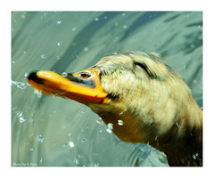 Rinse and spin (Graham Pym On/Off) Tags: duck water nikon riverside feathers beak splash