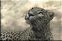 Lehoinabarra (josuneetxebarriaesparta) Tags: lehoinabar leopardo leopard felino pantherapardus mamífero carnívoro animalia animal