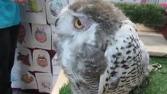 Anna - a baby snowy owl (billnbenj) Tags: barrow cumbria owl raptor birdofprey video snowyowl