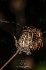 cross_spider1 (Arno Enzerink) Tags: europeangardenspider alone animalia arachnid arachnida arachnophobia araneae araneidae araneomorphae araneus araneusdiadematus arthropoda bud closeup copy copyspace creepycrawly cross crossspider crowned crownedorbweaver diadem diademspider diadematus flower hair hairs hairy macro nature negativespace one orbweaver pumpkinspider scary single space spider threads threatening web