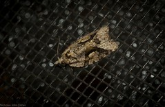 Epitymbia passalotana (dustaway) Tags: insecta lepidoptera tortricidae tortricinae epitymbiapassalotana australianmoths australianinsects tamborinemountain sequeensland queensland nature australia