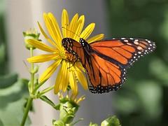 Beauty (karsheg) Tags: butterfly insects flower summertime nature outdoors monarch pennsylvania philadelphia johnheinzwildliferefuge wildlife