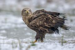 White-tailed Eagle (Mr F1) Tags: wild whitetailedeagle polan johnfanning nature bop birdsofprey outdoors cold snow ice wildlife bird detail ground feeding woodland