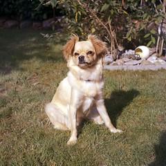 2017.07.15 - Fotos mit Ikoflex auf Kodak Portra 400 (08) (Marc D. Thoms) Tags: hund film kodak portra 400 ikoflex vollformat 6x6