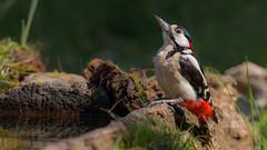 Great Spotted Woodpecker (keynowski) Tags: greatspottedwoodpecker ormanalacaağaçkakanı dendrocoposmajor nature ngc animalplanet animal wild wildlife bird ornithology ornito 70d canon70d canon100400mmisii 4k 2160p