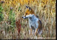 Watchful fox (awardphotography73) Tags: nature beautiful southwales wildlife animal forestfarm cardiff fox