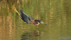 Heron does the swan dive..??? (Earl Reinink) Tags: dive swim water bird heron greenheron reflections nature earlreinink tizahuzdza