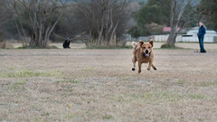 Monty (Eduardo_il_Magnifico) Tags: dog pet animal run exercise chase fly jump park outdoors evening fast speed cattledog armidale newsouthwales nsw australia nikond750 tamron90mmmacrovcusm