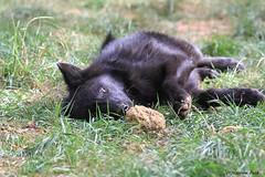 Louveteau du Canada (Passion Animaux & Photos) Tags: loup louveteau canada canadian wolf cub canis lupus occidentalis parc auxois france