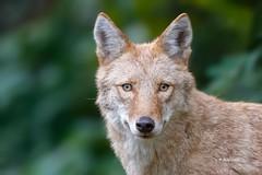Coyote (Mike Veltri) Tags: coyote blonde wild nature burlington ontario