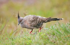Crested Pigeon (Ocyphaps lophotes) (Urban and Nature OZ) Tags: crestedpigeon pigeons birds bird nativeaustralianbirds pigeon birdlife wildlife australianbirds