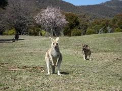 Eastern Grey Kangaroo (pale brown form) (RJNumbat) Tags: eastern grey kangaroo pale brown form