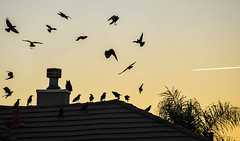 rooftop owl mobbed by crows (pbo31) Tags: livermore california sunrise birds crows owl country eastbay alamedacounty morning orange sky wild odd mobbed silhouette color black september 2018 boury pbo31