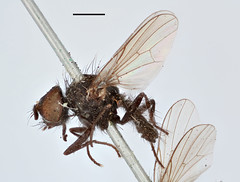 Anthomyza frontella Zetterstedt, 1838 (Biological Museum, Lund University: Entomology) Tags: diptera zetterstedt anthomyiidae anthomyza frontella delia mzlutype00391 taxonomy:binomial=anthomyzafrontella