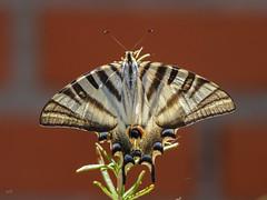 Papilio podalirius (Jesús Emilio Monje) Tags: mariposa butterflies papilio papiliopodalirius iphiclidesfeisthamelii cupaleche podalirio macro naturaleza nature insectos insects