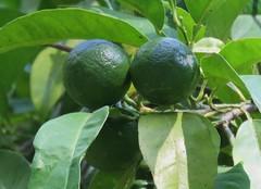 Different stages of life I (Elisa1880) Tags: sinaasappels oranges fruit botanical garden coimbra botanische tuin citrusfruit citrusvruchten citrus portugal