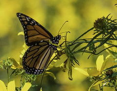 MonarchButterfly_SAF6794 (sara97) Tags: danausplexippus butterfly copyright©2018saraannefinke endangered missouri monarch monarchbutterfly nature photobysaraannefinke pollinator saintlouis towergrovepark