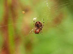 Garden Spider with prey. (dave p brecks) Tags: gardenspider invertebrates panasonicdmcg80 olympus60mmmacro prey feeding