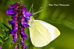 IMG_9776 (nitinpatel2) Tags: butterfly macro nature nitinpatel
